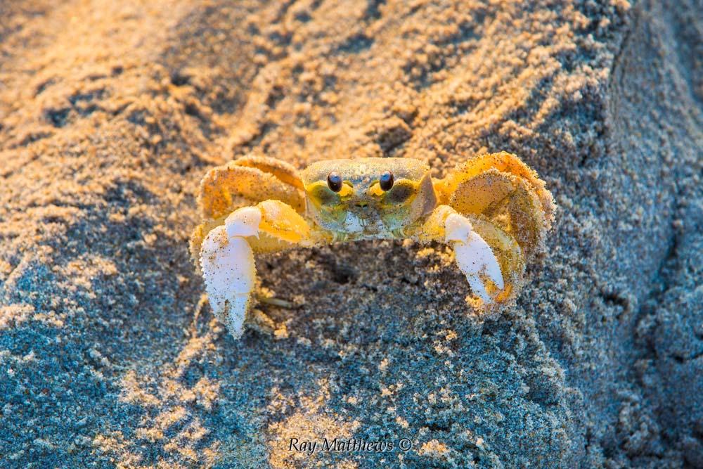 Crab -19